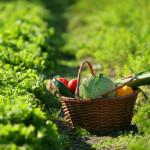 """A KM ZERO Il termine indica una tipologia di coltivazione, produzione e quindi alimentazione a basso impatto ambientale, per cui il reperimento delle materie prime è esclusivamente locale. In cucina denota la preparazione delle ricette con ingredienti che sono disponibili """"qui e ora"""", cioè acquistati e prodotti entro lo stretto raggio del posto in cui si vive, magari dal contadino e che rispettano i piatti legati al proprio territorio e alla propria tradizione. L'obiettivo è di ridurre l'inquinamento e preservare la qualità degli alimenti (si evitano trasporti di merci per lunghe distanze con relativo abbattimento del gas serra e deperimento delle materie prime). In Italia la sua introduzione ha avuto successo e in alcune regioni, come il Veneto, il cibo a Km zero è diventato, tramite la Coldiretti, un marchio da apporre sui menu e sulle vetrine dei negozi, che possono essere trattorie, bar o ristoranti."""