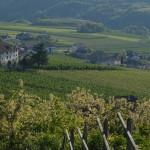 KRAFUSS Pinot Noir_vigneto